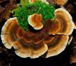 Coriolus versicolor ovlivňuje průběh Crohnovy nemoci