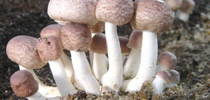 Agaricus blazei Murill v boji s infekcemi