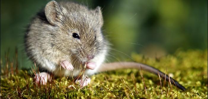 Cordyceps snižuje cukr a psychickou nepohodu u diabetických myší