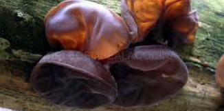 Auricularia a akutní zánět plic